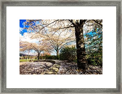 Cherry Blossoms Framed Print by Nancy Harrison