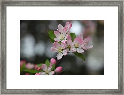 Cherry Blossoms - Washington Dc - 0113110 Framed Print by DC Photographer