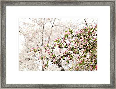 Cherry Blossoms - Washington Dc - 0113112 Framed Print by DC Photographer