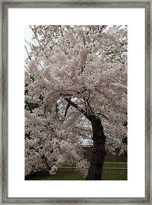 Cherry Blossoms - Washington Dc - 0113118 Framed Print by DC Photographer