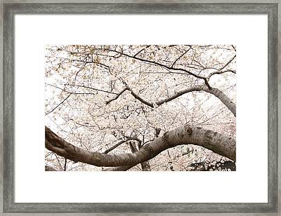 Cherry Blossoms - Washington Dc - 0113121 Framed Print by DC Photographer