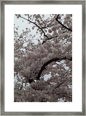 Cherry Blossoms - Washington Dc - 0113126 Framed Print by DC Photographer
