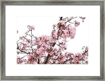 Cherry Blossoms - Washington Dc - 0113127 Framed Print by DC Photographer
