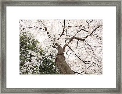 Cherry Blossoms - Washington Dc - 0113136 Framed Print by DC Photographer
