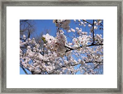 Cherry Blossoms - Washington Dc - 01132 Framed Print by DC Photographer