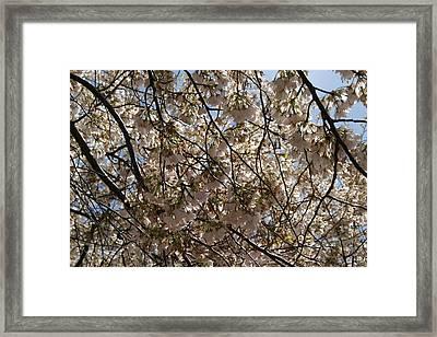 Cherry Blossoms - Washington Dc - 011336 Framed Print by DC Photographer