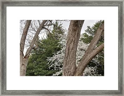 Cherry Blossoms - Washington Dc - 011352 Framed Print by DC Photographer