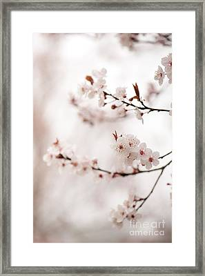 Cherry Plum Blossom Framed Print by Anne Gilbert