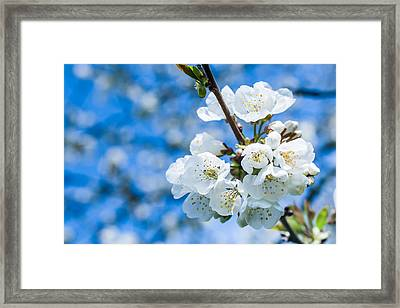 Cherry Tree In Bloom Framed Print by Nila Newsom
