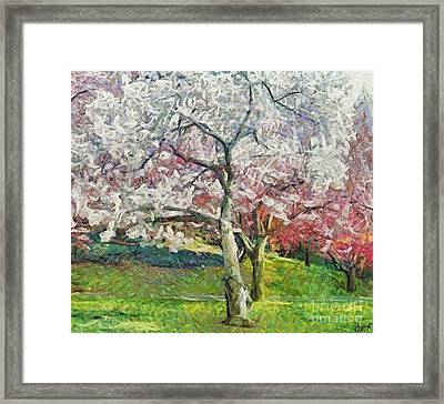Cherry Trees Framed Print by Dragica  Micki Fortuna