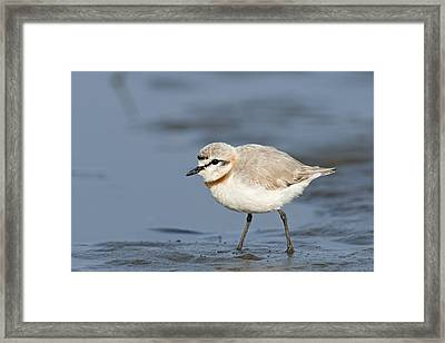 Chestnut-banded Plover On Mud Flats Framed Print by Tony Camacho