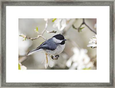 Chickadee And Magnolia - D008970 Framed Print by Daniel Dempster