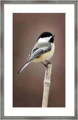 Chickadee Framed Print by Bill Wakeley