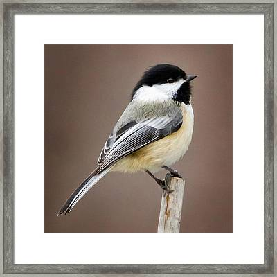 Chickadee Square Framed Print by Bill Wakeley
