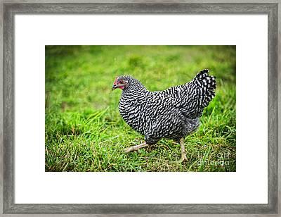 Chicken Walking On Green Pasture Framed Print by Elena Elisseeva