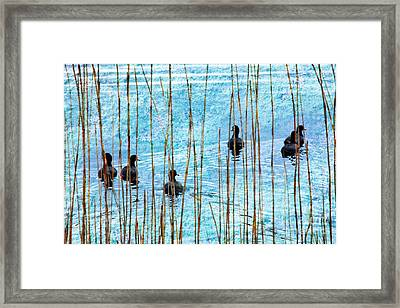 Chicks In Water With Reeds On The Outer Banks II Framed Print by Dan Carmichael