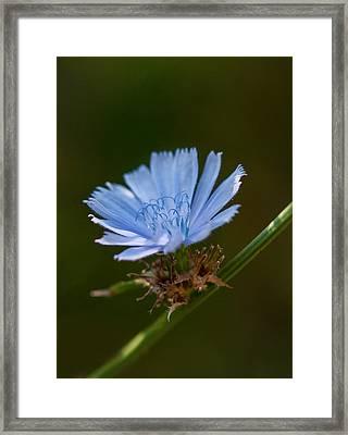 Chicory Framed Print by Lara Ellis