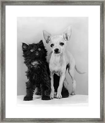 Chihuahua Has Kitten Sidekick Framed Print by Underwood Archives