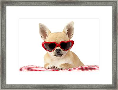 Chihuahua In Heart Sunglasses Framed Print by Greg Cuddiford