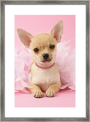 Chihuahua With Feather Boa Framed Print by Greg Cuddiford