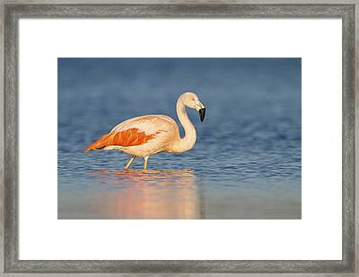 Chilean Flamingo Framed Print by Ronald Kamphius