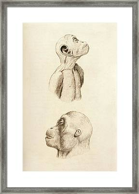 Chimpanzee And Orangutan Framed Print by King's College London