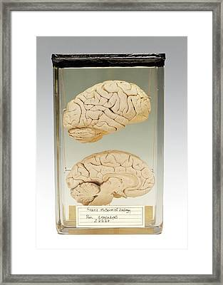 Chimpanzee Brain Framed Print by Ucl, Grant Museum Of Zoology