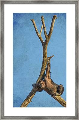Chimpanzee Camouflage Framed Print by Bill Tiepelman