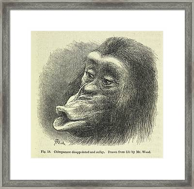 Chimpanzee Disappointed And Sulky Framed Print by British Library
