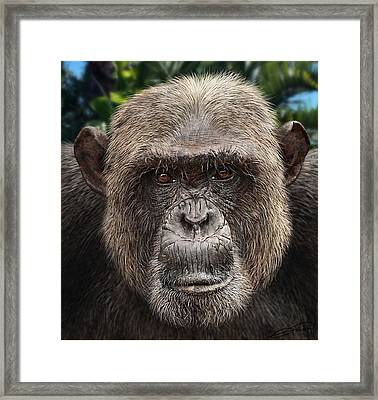 Chimpanzee Male Framed Print by Owen Bell