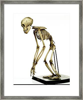 Chimpanzee Skeleton Framed Print by Ucl, Grant Museum Of Zoology