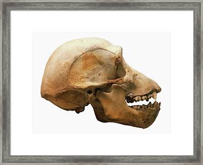 Chimpanzee Skull Framed Print by Dorling Kindersley/uig
