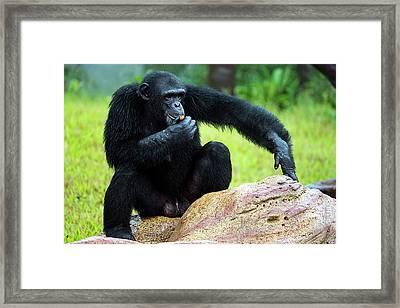 Chimpanzees Framed Print by Pan Xunbin