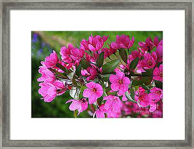 Chinese Apple Blossoms Framed Print by Dora Sofia Caputo Photographic Art and Design