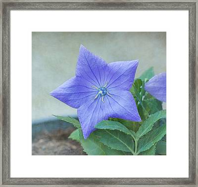 Chinese Bell Flower Framed Print by Kim Hojnacki