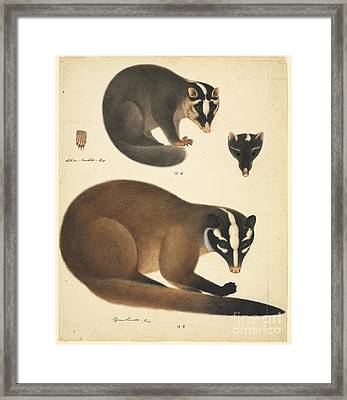 Chinese Ferret Badger, 19th Century Framed Print by Natural History Museum, London