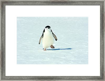 Chinstrap Penguin Running Framed Print by Amanda Stadther