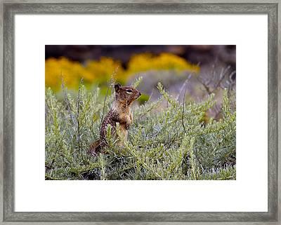 Chipmunk Framed Print by Michael Blesius
