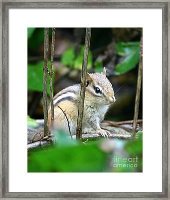 Chipmunk Rest  Framed Print by Neal  Eslinger
