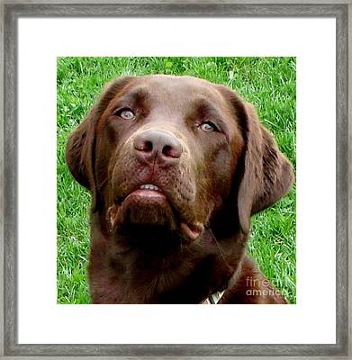 Chocolate Labrador Smile Framed Print by Gail Matthews