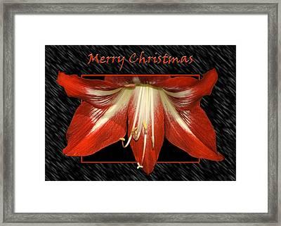 Christmas Amaryllis Framed Print by Carolyn Marshall