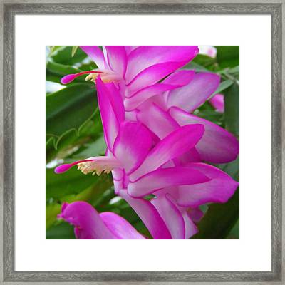 Christmas Cactus Flower Framed Print by Aimee L Maher Photography and Art Visit ALMGallerydotcom