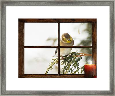Christmas Goldfinch. Framed Print by Kelly Nelson