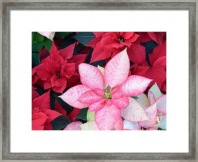 Christmas Pointsettia Framed Print by Kathleen Struckle