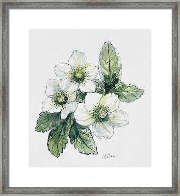 Christmas Rose Framed Print by Nell Hill