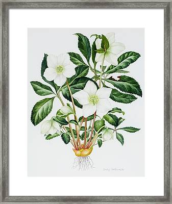 Christmas Rose Framed Print by Sally Crosthwaite