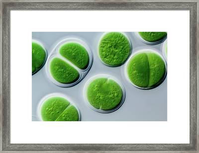 Chroococcus Marine Cyanobacterium Framed Print by Gerd Guenther