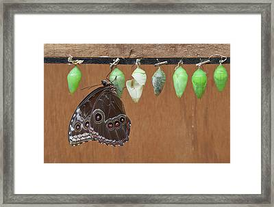 Chrysalis Of Blue Morpho Butterfly Framed Print by Thomas Wiewandt