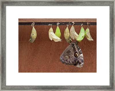 Chrysalises Of Large Owlet Butterfly Framed Print by Thomas Wiewandt