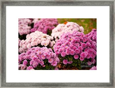 Many Pink Dendranthema Or Chrysanthemum Blooming  Framed Print by Arletta Cwalina
